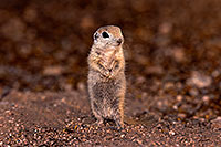 /images/133/2016-05-15-creatures-1dx_15044.jpg - #12937: Round Tailed Ground Squirrels in Tucson … May 2016 -- Tucson, Arizona