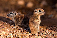/images/133/2016-05-15-creatures-21-1dx_14820.jpg - #12998: Round Tailed Ground Squirrels in Tucson … May 2016 -- Tucson, Arizona