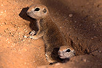 /images/133/2016-05-15-creatures-3-1dx_14662.jpg - #12999: Round Tailed Ground Squirrels in Tucson … May 2016 -- Tucson, Arizona
