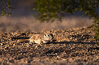 /images/133/2016-05-21-tucson-creatures-1dx_15862.jpg - #13001: Round Tailed Ground Squirrels in Tucson … May 2016 -- Tucson, Arizona