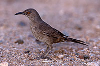 /images/133/2016-05-21-tucson-thrasher-1dx_15838.jpg - #13006: Curved Bill Thrasher in Tucson … May 2016 -- Tucson, Arizona