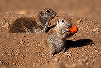 /images/133/2016-05-22-tucson-creatures-14f-1dx_16013.jpg - #13007: Round Tailed Ground Squirrels in Tucson … May 2016 -- Tucson, Arizona
