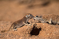 /images/133/2016-05-22-tucson-creatures-1dx_15989.jpg - #13008: Round Tailed Ground Squirrels in Tucson … May 2016 -- Tucson, Arizona