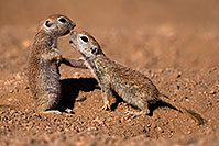 /images/133/2016-05-22-tucson-creatures-1dx_16090.jpg - #13009: Round Tailed Ground Squirrels in Tucson … May 2016 -- Tucson, Arizona