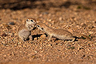 /images/133/2016-05-22-tucson-creatures-1dx_16254.jpg - #13011: Round Tailed Ground Squirrels in Tucson … May 2016 -- Tucson, Arizona