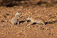 /images/133/2016-05-22-tucson-creatures-1dx_16256.jpg - #13012: Round Tailed Ground Squirrels in Tucson … May 2016 -- Tucson, Arizona