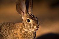 /images/133/2016-05-23-tucson-bunnies-1dx_16570.jpg - #12954: Desert Cottontail in Tucson … May 2016 -- Tucson, Arizona