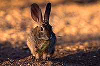 /images/133/2016-05-23-tucson-bunnies-1dx_16657.jpg - #12957: Desert Cottontail in Tucson … May 2016 -- Tucson, Arizona