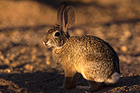 /images/133/2016-05-23-tucson-bunnies-1dx_16674.jpg - #12958: Desert Cottontail in Tucson … May 2016 -- Tucson, Arizona