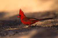 /images/133/2016-05-23-tucson-cardinal-1dx_16518.jpg - #12959: Cardinal in Tucson … May 2016 -- Tucson, Arizona