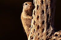 /images/133/2016-05-23-tucson-creatures-1dx_16492.jpg - #13024: Round Tailed Ground Squirrels in Tucson … May 2016 -- Tucson, Arizona