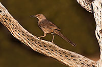 /images/133/2016-05-23-tucson-thrasher-46e-1dx_16350.jpg - #13027: Curved Bill Thrasher in Tucson … May 2016 -- Tucson, Arizona