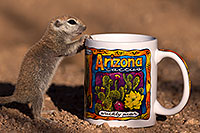 /images/133/2016-05-28-creatures-cup-1dx_18279.jpg - #13031: Round Tailed Ground Squirrel with Arizona mug … May 2016 -- Tucson, Arizona