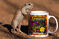 /images/133/2016-05-28-creatures-cup-1dx_18291.jpg - #13032: Round Tailed Ground Squirrel with Arizona mug … May 2016 -- Tucson, Arizona