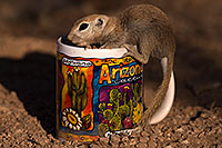 /images/133/2016-05-28-creatures-cup-1dx_18377.jpg - #13034: Round Tailed Ground Squirrel with Arizona mug … May 2016 -- Tucson, Arizona