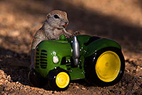 /images/133/2016-05-28-creatures-tractor-1dx_18302.jpg - #13036: Round Tailed Ground Squirrel with a tractor … May 2016 -- Tucson, Arizona