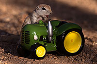 /images/133/2016-05-28-creatures-tractor-1dx_18306.jpg - #13037: Round Tailed Ground Squirrel with a tractor … May 2016 -- Tucson, Arizona