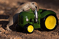 /images/133/2016-05-28-creatures-tractor-1dx_18336.jpg - #13038: Round Tailed Ground Squirrel with a tractor … May 2016 -- Tucson, Arizona