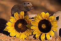 /images/133/2016-05-29-creatures-cr-41rf-1dx_18504.jpg - #13040: Round Tailed Ground Squirrel with flowers … May 2016 -- Tucson, Arizona