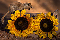 /images/133/2016-05-29-creatures-crate-1dx_18541.jpg - #13041: Round Tailed Ground Squirrel with flowers … May 2016 -- Tucson, Arizona