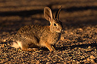 /images/133/2016-06-14-tucson-bunnies-1dx_19461.jpg - #12995: Desert Cottontail … June 2016 -- Tucson, Arizona