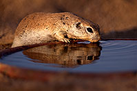 /images/133/2016-06-19-creatures-reflect-1dx_20699.jpg - #13057: Round Tailed Ground Squirrel … June 2016 -- Tucson, Arizona