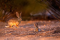 /images/133/2016-06-20-bunnies-tiny-1dx_21058.jpg - #13001: Baby Desert Cottontail … June 2016 -- Tucson, Arizona