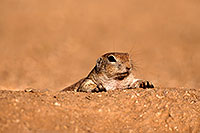 /images/133/2016-06-21-creatures-lying-1dx_21161.jpg - #13067: Round Tailed Ground Squirrel … June 2016 -- Tucson, Arizona