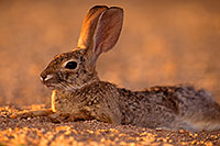 /images/133/2016-06-21-tucson-bunnies-1dx_21418.jpg - Animals > Desert Cottontails
