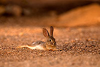/images/133/2016-06-21-tucson-bunnies-1dx_21430.jpg - #13015: Baby Desert Cottontail … June 2016 -- Tucson, Arizona