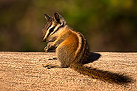 /images/133/2016-07-03-rainbow-chipmunk-1dx_22373.jpg - 13050: Chipmunks in Eastern Sierra … July 2016 -- Eastern Sierra, California
