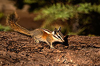 /images/133/2016-07-03-rainbow-chipmunk-1dx_22382.jpg - #13022: Chipmunks in Eastern Sierra … July 2016 -- Eastern Sierra, California