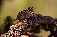 /images/133/2016-07-03-rainbow-chipmunks-1dx_22277.jpg - #13024: Chipmunks in Eastern Sierra … July 2016 -- Eastern Sierra, California