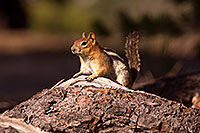 /images/133/2016-07-03-rainbow-squirrels-1dx_22231.jpg - #13025: Chipmunks in Eastern Sierra … July 2016 -- Eastern Sierra, California