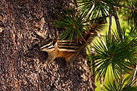 /images/133/2016-07-04-rainbow-chipmunks-1dx_22467.jpg - #13028: Chipmunks in Eastern Sierra … July 2016 -- Eastern Sierra, California