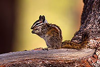 /images/133/2016-07-04-rainbow-chipmunks-1dx_22494.jpg - #13031: Chipmunks in Eastern Sierra … July 2016 -- Eastern Sierra, California