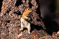 /images/133/2016-07-05-rainbow-squirrels-6d_10013.jpg - #13046: Golden Mantled Ground Squirrels in Eastern Sierra … July 2016 -- Eastern Sierra, California