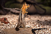 /images/133/2016-07-05-rainbow-squirrels-6d_10025.jpg - #13047: Golden Mantled Ground Squirrels in Eastern Sierra … July 2016 -- Eastern Sierra, California
