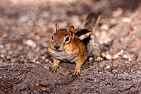 /images/133/2016-07-05-rainbow-squirrels-6d_10032.jpg - #13048: Golden Mantled Ground Squirrels in Eastern Sierra … July 2016 -- Eastern Sierra, California