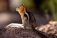 /images/133/2016-07-05-rainbow-squirrels-6d_10109.jpg - #13051: Golden Mantled Ground Squirrels in Eastern Sierra … July 2016 -- Eastern Sierra, California