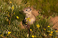/images/133/2016-07-31-bishop-creatures-6d_0685.jpg - #13057: Ground Squirrels in Eastern Sierra, California … July 2016 -- Eastern Sierra, California