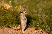 /images/133/2016-07-31-bishop-creatures-6d_0710.jpg - #13058: Ground Squirrels in Eastern Sierra, California … July 2016 -- Eastern Sierra, California
