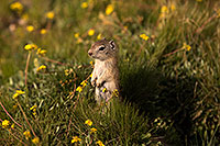 /images/133/2016-07-31-bishop-creatures-6d_0743.jpg - #13060: Ground Squirrels in Eastern Sierra, California … July 2016 -- Eastern Sierra, California