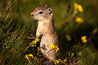 /images/133/2016-07-31-bishop-creatures-6d_0804.jpg - 13090: Ground Squirrels in Eastern Sierra, California … July 2016 -- Eastern Sierra, California