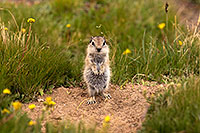 /images/133/2016-07-31-bishop-creatures-6d_0844.jpg - #13062: Ground Squirrels in Eastern Sierra, California … July 2016 -- Eastern Sierra, California