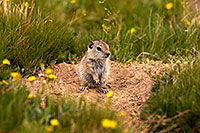 /images/133/2016-07-31-bishop-creatures-6d_0847.jpg - #13064: Ground Squirrels in Eastern Sierra, California … July 2016 -- Eastern Sierra, California
