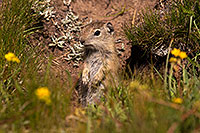 /images/133/2016-08-01-bishop-creatures-6d_1140.jpg - #13066: Ground Squirrels in Eastern Sierra, California … July 2016 -- Eastern Sierra, California