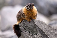 /images/133/2016-09-03-sierra-marmot-6d_1320.jpg - #13067: Yellow Bellied Marmot in Eastern Sierra, California … September 2016 -- Eastern Sierra, California