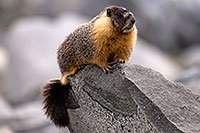 /images/133/2016-09-03-sierra-marmot-6d_1327.jpg - #13068: Yellow Bellied Marmot in Eastern Sierra, California … September 2016 -- Eastern Sierra, California
