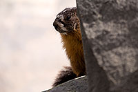 /images/133/2016-09-03-sierra-marmot-6d_1355.jpg - #13071: Yellow Bellied Marmot in Eastern Sierra, California … September 2016 -- Eastern Sierra, California